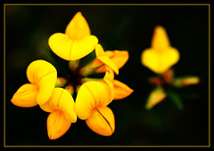 Lotus corniculatus photo by Lorraine1234