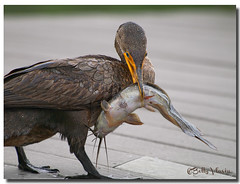 Double Crested Cormorant with dinner photo by Betty Vlasiu