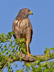 Roadside Hawk (Rupornis magnirostris) photo by Rodrigo Conte