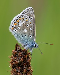 Common Blue butterfly - Polyommatus icarus photo by jeannie debs