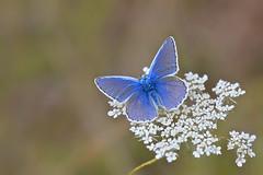 Lacy Blue...... photo by klythawk