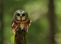 Northern Saw-whet Owl...#18 photo by Guy Lichter Photography - Thank you for 1.8M views