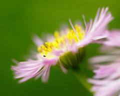 Erigeron Philadelphicus photo by miles smile