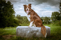 Shasta Border Collie photo by haroldmeerveld