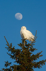 Snowy Owl and the Moon photo by Bill McMullen