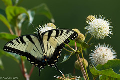 Eastern tiger swallowtail [Papilio glaucus] on Button Bush [Cephalanthus occidentalis] photo by Fred Roe