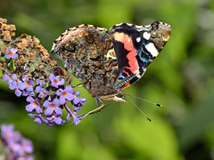 Red Admiral photo by Doolallyally