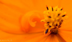 Cosmos Sulphureus photo by sebastienpeguillou