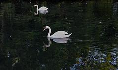 Swan Lake photo by Richard Cartawick