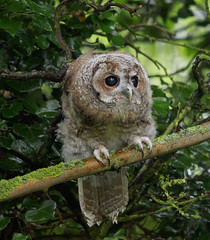 in wet woods, a very young Tawny Owl (Strix aluco) photo by Jonathan Saull