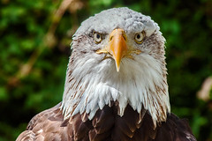 Alaskan Bald Eagle (EXPLORED) photo by Tim Dennell