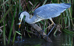 grey heron with fish photo by Artefax Jericho
