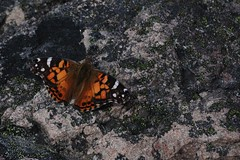 Monarchly Beautiful photo by Insearchoflight