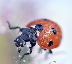 *Ladybird * photo by mikroman6