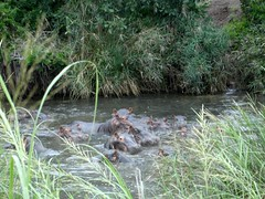 Hippos in the river