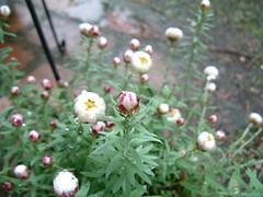 雨に濡れてしまった花かんざし