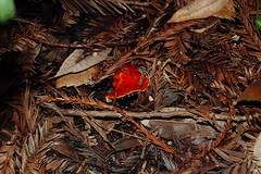 Emerging scarlet mushroom