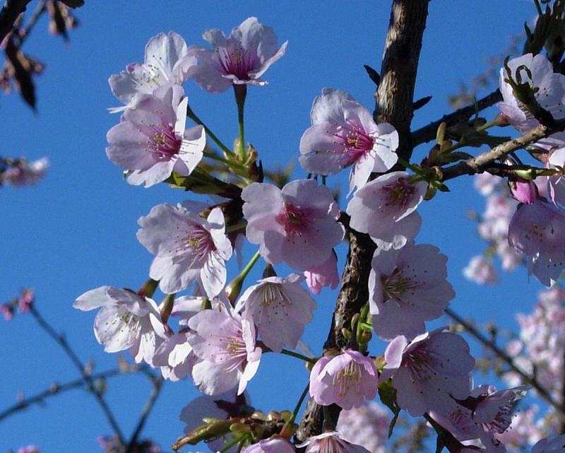 Sakura in Toushouguu Shrine, Ueno, Tokyo