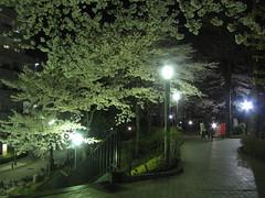 Kawaguchi hanami night #5