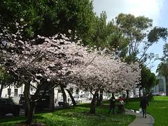 Cherry blossom - Kirschblüte