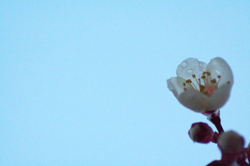 雨あがり 夕暮れ時 梅の花