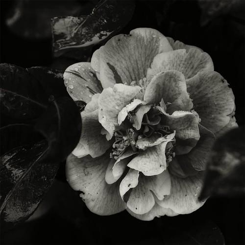 A camellia
