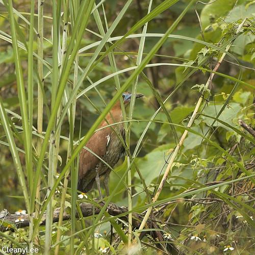 0066黑冠麻鷺 Malaysian Night Heron