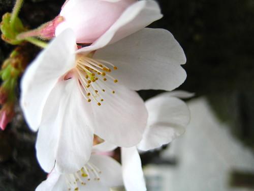 closeup of sakura