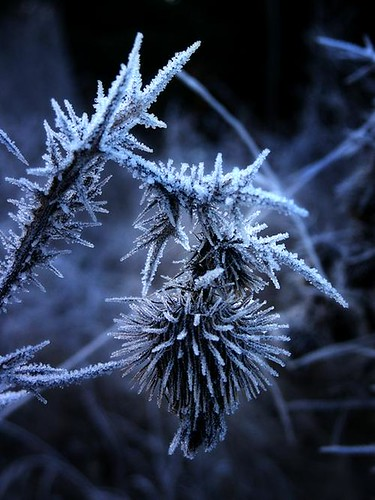 frost thistle