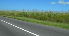 Sugar Cane on the Road