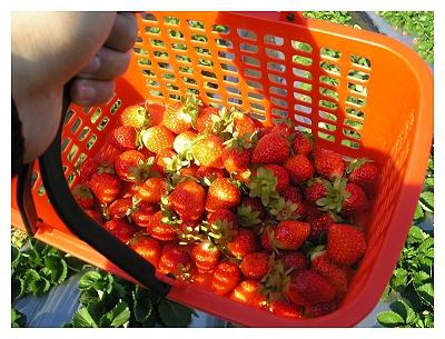 採草莓_一整籃