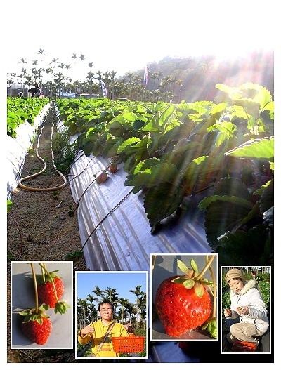 採草莓_大豐收