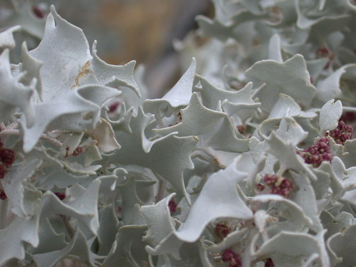 Desert Holly