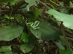 snake in macR