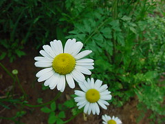 Oxeye Daisy (Chrysanthemum leucanthemum) Sunflower Family 1