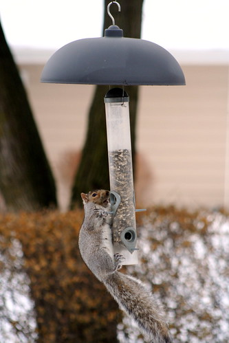 squirrel on squirrel-proof bird feeder