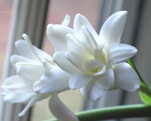 Cincinnati cape cod white flowers continued with an oriental lily i purchased at kroger then i ordered tuberose from rareflora one of them was preparing to bloom when it arrived mightylinksfo