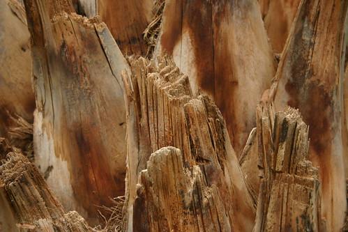 Date palm in a Tinerhir palmeraie