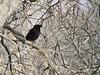 Mainá-de-crista (Acridotheres cristatellus)