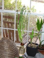 Paperwhites Blooming 1
