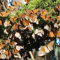 Monarch Butterflies at Lighthouse State Beach_1.jpg