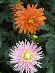 More Dahlias