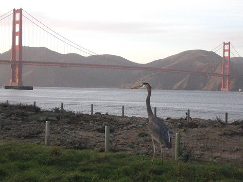 Blue heron in Crissy Field, San Francisco