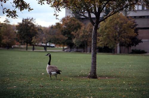 Goose Tree