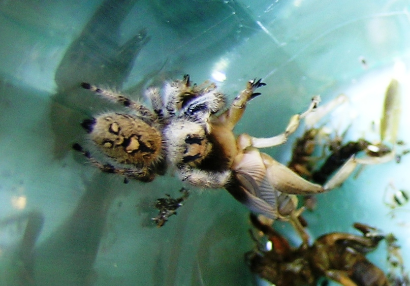 Jumping Spider versus Mole Cricket