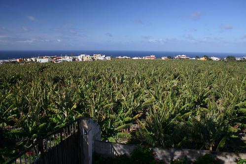 Lush banana plantations on the north coast. Tejina. Jan. 2006