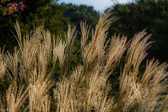 Ornamental Grasses photo by Sampolo