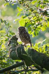 Good morning little owl photo by Bart Hardorff