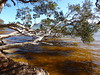 Melaleuca quinquenervia, Broad-leaved Paperbark - Tea Tree, Sailing Club, Wallis Lake, Forster, NSW, Australia