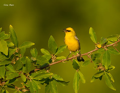 Blue-Wing Warbler Golden Hour! photo by Corey Hayes